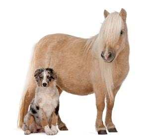 Palomino Shetland pony and Australian Shepherd puppy, white background